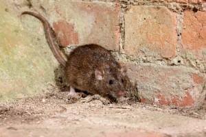 nuisance-rat